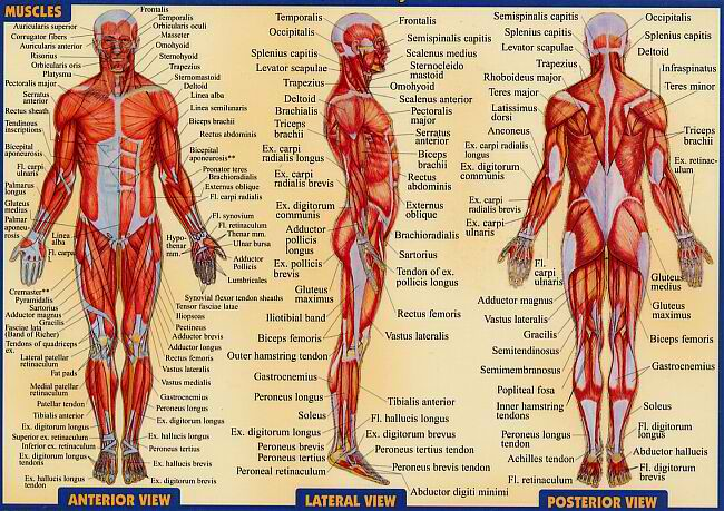 physiological effects of massage pdf